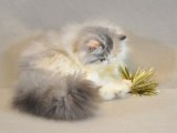 廣州 波斯貓哪里有得賣 多少錢