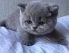 蓝猫出售标准价格