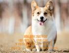 东莞哪里有卖黄白柯基犬价格三色柯基犬多少钱一只柯基犬好养吗