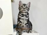 齐齐哈尔买猫 纯种美国短毛猫虎纹幼猫 会吃猫粮用猫砂全国包邮