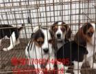 济南哪里有比格犬卖 哪里卖比格犬包纯种健康签协议 比格图片
