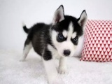 基地直銷純種哈士奇幼犬雙藍眼三把火疫苗驅蟲齊