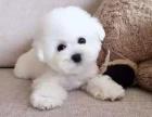 本地出售圆溜溜 大眼睛 毛绒发比熊幼犬 终身保证,纯种