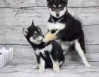 日系柴犬多少钱 拉萨赤色柴犬的价格是多少 黑色柴犬怎么卖