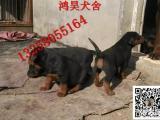 纯种苏联红犬多少钱一只 成年苏联红犬价格图片