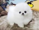 博美犬多少钱 俊介哪里有卖 哈多利球型博美