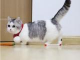 成都性格活潑黏人 超甜美藍貓寶寶 健康無病無癬包健康