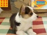 哪里有柯基犬出售 柯基犬多少钱一只 在哪里