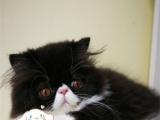 出售自家繁殖波斯猫 无病无藓 签协保
