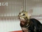 两窝孟加拉豹猫找新主人