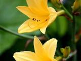 想买新品萱草,就到壹贰叁花卉苗木 -金娃娃萱草种植基地