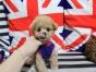 纯种泰迪哪里有卖的 泰迪多少钱一只 泰迪照片