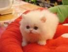 泉州哪里有金吉拉猫卖 猫舍直销 健康活泼 包纯种 保养活