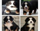 新年特惠伯恩山犬多少钱 精品伯恩山犬价格 伯恩山犬繁殖
