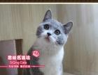 超甜美的英短猫蓝白双色小mm--《思晴名猫坊》