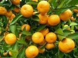 惠州红皮年桔苗,无菌环境培育年桔,全年供应
