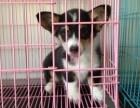 柯基犬柯基幼犬柯基家养繁殖出售活体宠物狗
