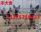 精品马犬价格 出售2~4个月血统马犬幼犬