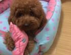 成都出售純種泰迪包犬瘟細小包健康三個月有問題包退換
