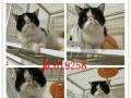 高品质加菲幼猫 质保出售 真实拍摄