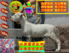 在哪里买纯种的杜高幼犬 杜高幼犬最低多少钱