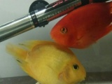 出鹦鹉两条,换鱼