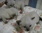 什么地方卖宠物猫 深圳宠物店 深圳暹罗猫价格