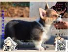 买纯种柯基犬 保纯保健康-可签订质保协议