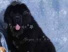 藏獒幼犬图片宽阔的鼻子藏獒幼犬价格燕都犬舍