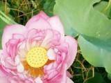 荷花苗种植玖水莲水生植物种植合作社