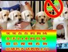 狗场繁殖 **纯种 签订协议 终身质保拉布拉多犬