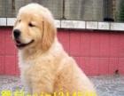 纯种金毛幼犬转让 小狗狗长大了很好养的