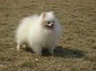 出售纯种博美犬 博美幼犬 品相好 健康保证