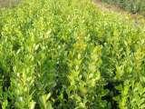 山东品种好的小叶黄杨供应——天津小叶黄杨