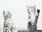 猫舍出售美短加白活体 美国短毛加白起司美短虎斑包邮
