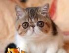 加菲猫宠物猫咪/异国短毛猫/家养纯种短毛/幼猫活体