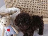 娜娜家养茶杯 玩具泰迪犬家园 健康 韩国茶杯犬 泰迪狗狗