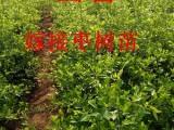 山西嫁接枣树苗 50公分到1米高