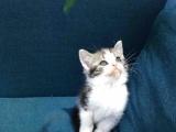 出售自家繁殖 银渐层 蓝猫 美短