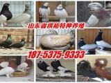 两头乌鸽,蛇头黄杠鸽,蓝头鸽,单头紫鸽,毛领鸽,元宝鸽价格