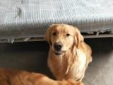 家庭寄养每一天,都和狗狗们一起过