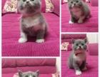 家庭繁殖英国短毛猫