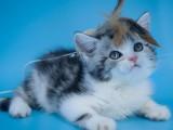 美短貓純種貓咪活體寵物貓幼崽短毛貓美短加白起司