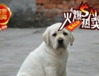 出售高品质纯种幼犬拉布拉多宠狗狗出售血统纯正健康保