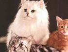 拉萨哪里有金吉拉猫卖 猫舍直销 健康活泼 包纯种 保养活