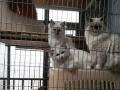 家养布偶猫小母出售