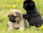 买狗找我 南昌哪里有卖纯种巴哥,巴哥多少钱?