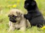 买狗找我 白沙哪里有卖纯种巴哥,巴哥多少钱