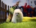 泉州哪里有宠物狗卖哈多利版球型博美宝宝 可爱至极