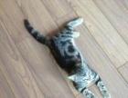 出售自家小美短,虎斑猫,小猫咪活跃好动